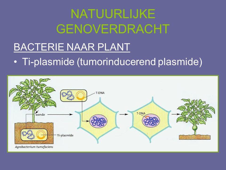 NATUURLIJKE GENOVERDRACHT BACTERIE NAAR PLANT •Ti-plasmide (tumorinducerend plasmide)