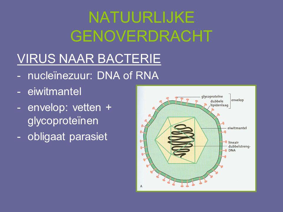NATUURLIJKE GENOVERDRACHT VIRUS NAAR BACTERIE -nucleïnezuur: DNA of RNA -eiwitmantel -envelop: vetten + glycoproteïnen -obligaat parasiet