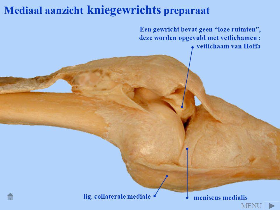 """Mediaal aanzicht kniegewrichts preparaat lig. collaterale mediale meniscus medialis Een gewricht bevat geen """"loze ruimten"""", deze worden opgevuld met v"""
