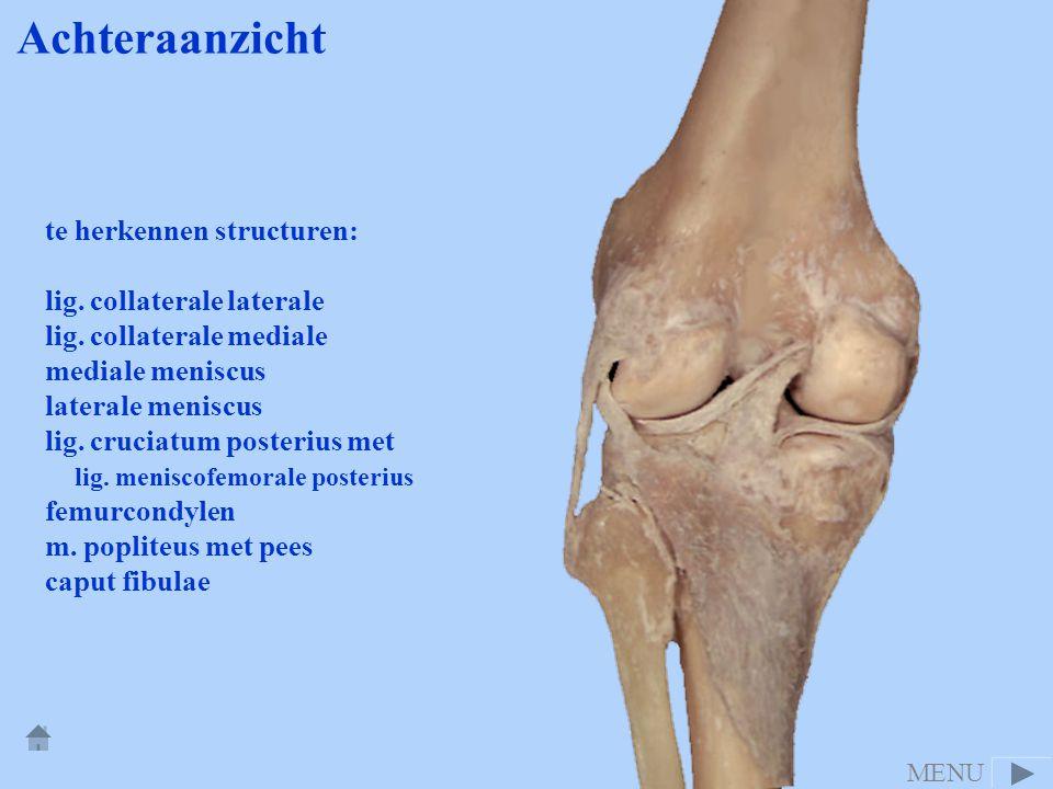 te herkennen structuren: lig. collaterale laterale lig. collaterale mediale mediale meniscus laterale meniscus lig. cruciatum posterius met lig. menis