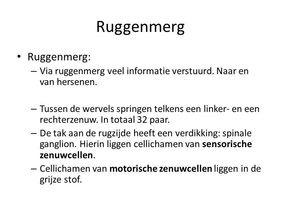 Ruggenmerg • Ruggenmerg: – Via ruggenmerg veel informatie verstuurd. Naar en van hersenen. – Tussen de wervels springen telkens een linker- en een rec