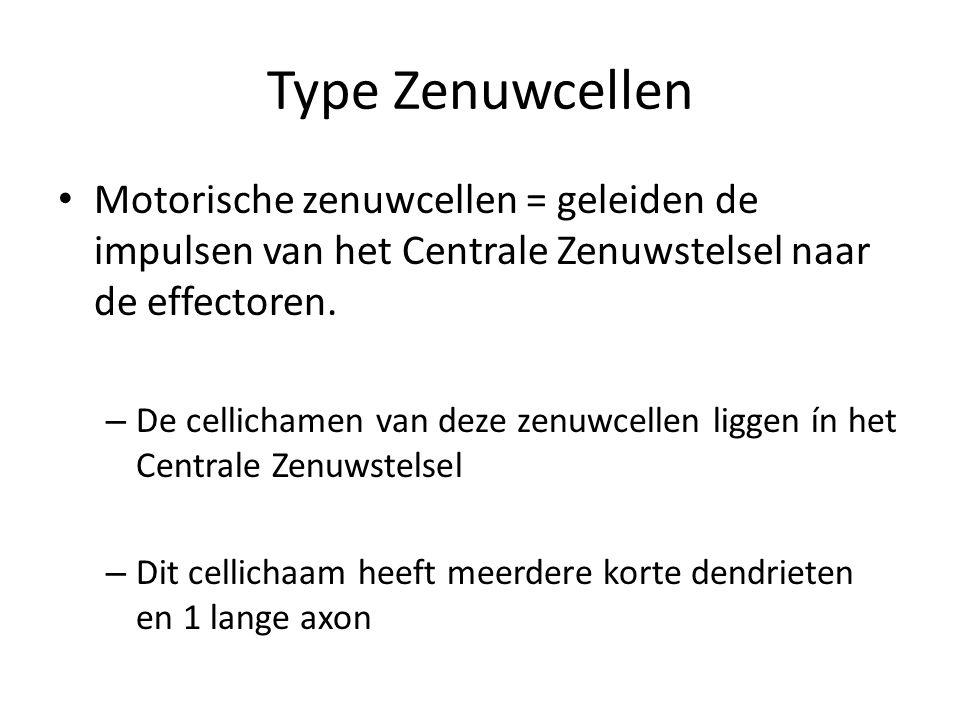 Type Zenuwcellen • Motorische zenuwcellen = geleiden de impulsen van het Centrale Zenuwstelsel naar de effectoren. – De cellichamen van deze zenuwcell