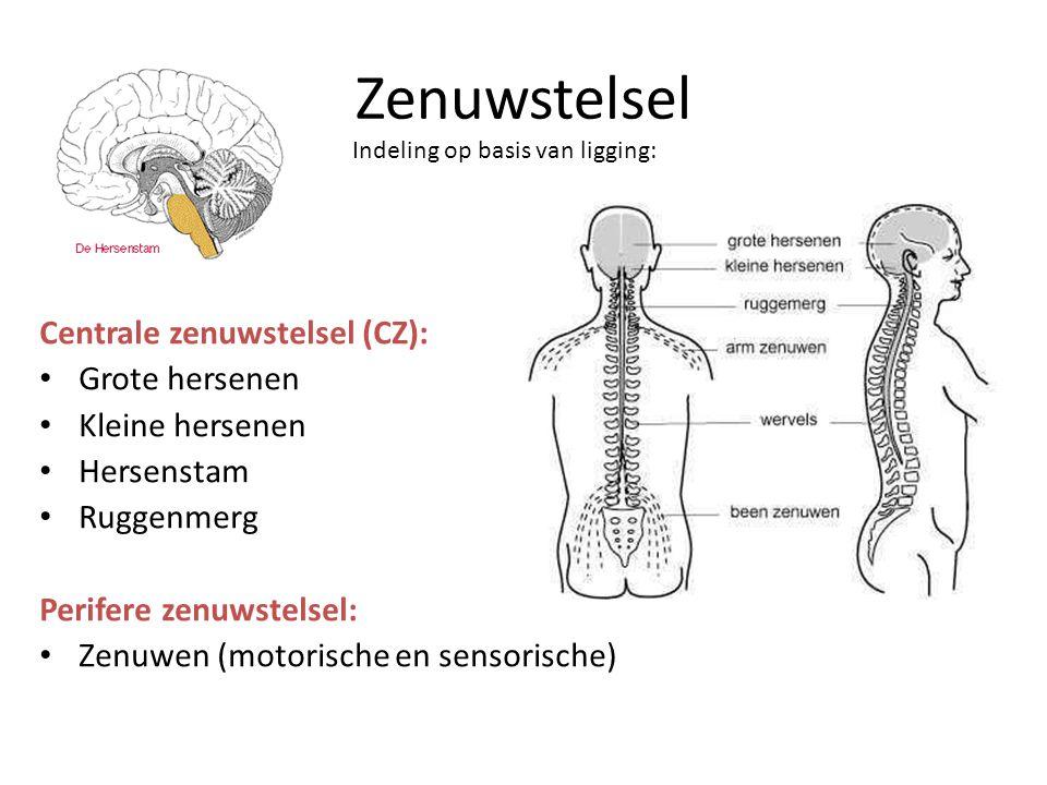 Zenuwstelsel Centrale zenuwstelsel (CZ): • Grote hersenen • Kleine hersenen • Hersenstam • Ruggenmerg Perifere zenuwstelsel: • Zenuwen (motorische en