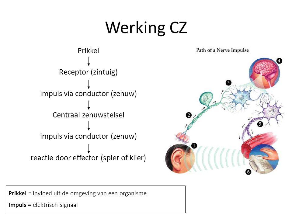 Werking CZ Prikkel Receptor (zintuig) impuls via conductor (zenuw) Centraal zenuwstelsel impuls via conductor (zenuw) reactie door effector (spier of