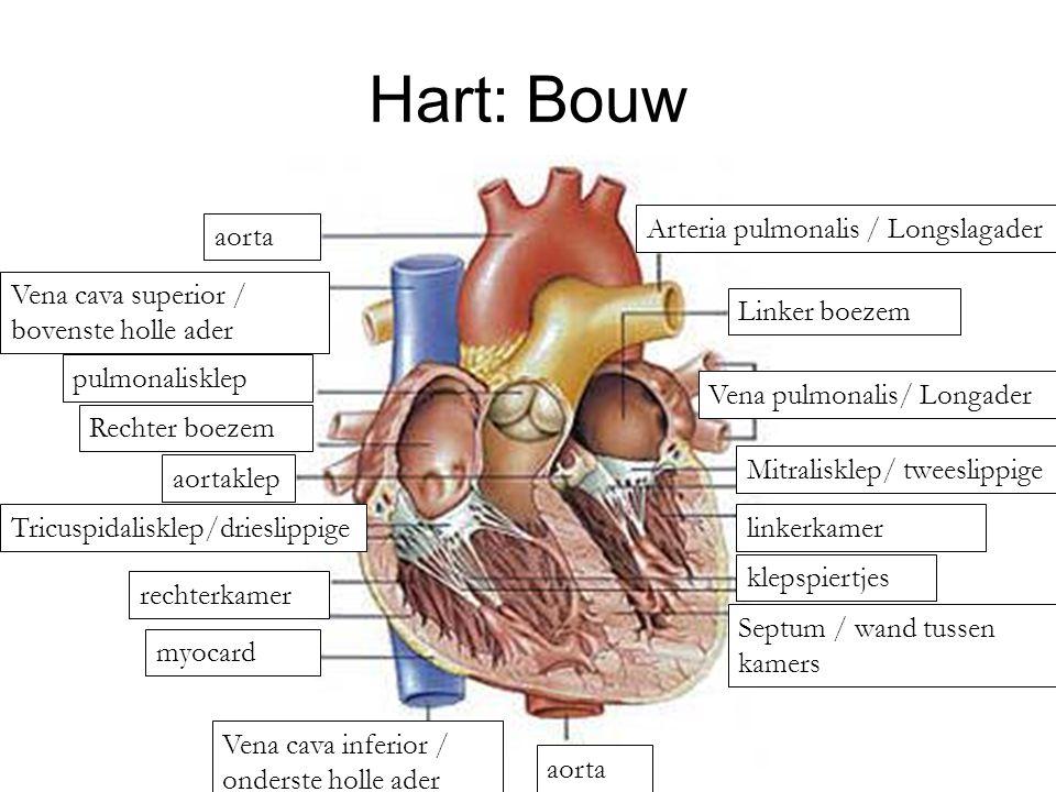 Hart: Bouw aorta Vena cava superior / bovenste holle ader Vena pulmonalis/ Longader Linker boezem Arteria pulmonalis / Longslagader aorta Septum / wand tussen kamers klepspiertjes linkerkamer Mitralisklep/ tweeslippige aortaklep Tricuspidalisklep/drieslippige rechterkamer myocard pulmonalisklep Rechter boezem Vena cava inferior / onderste holle ader