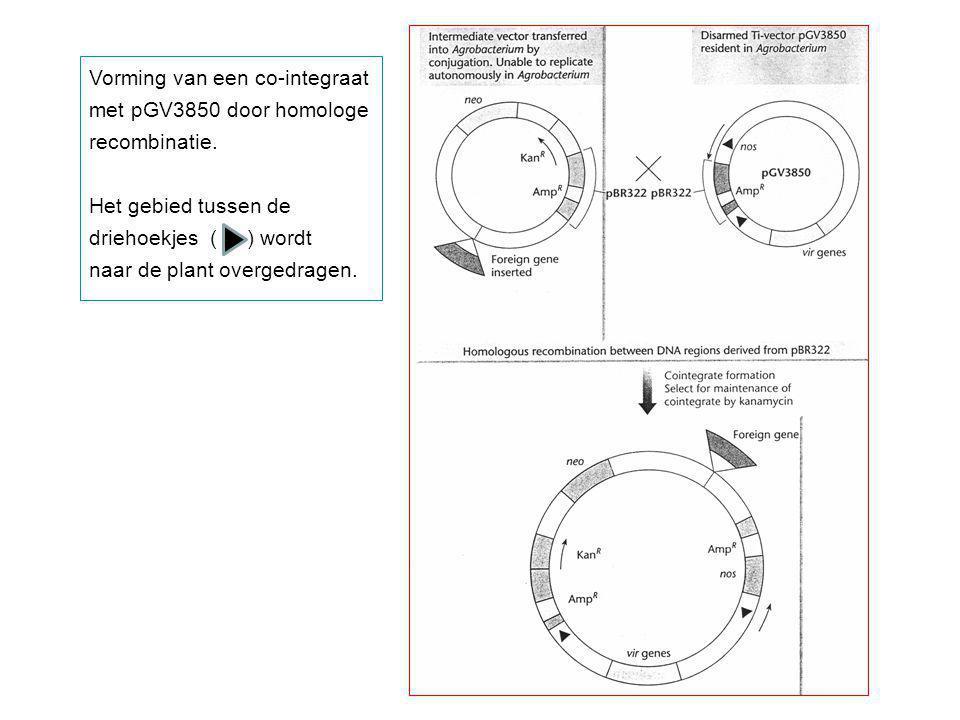 Vorming van een co-integraat met pGV3850 door homologe recombinatie. Het gebied tussen de driehoekjes ( ) wordt naar de plant overgedragen.