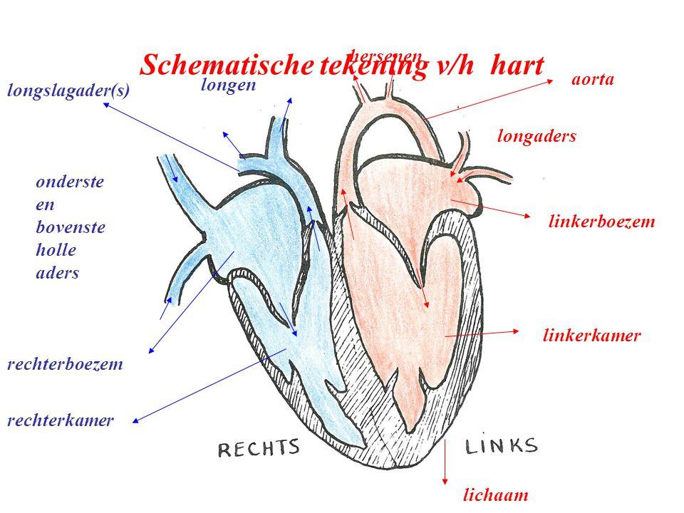 longaders linkerboezem linkerkamer rechterboezem rechterkamer lichaam aorta hersenen onderste en bovenste holle aders longen longslagader(s) Schematis