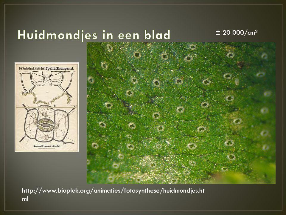 http://www.bioplek.org/animaties/fotosynthese/huidmondjes.ht ml ± 20 000/cm²
