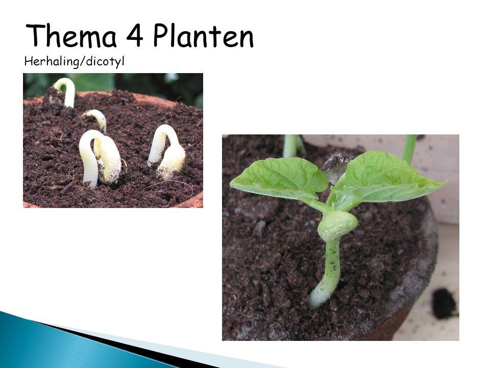 Thema 4 Planten Herhaling/dicotyl