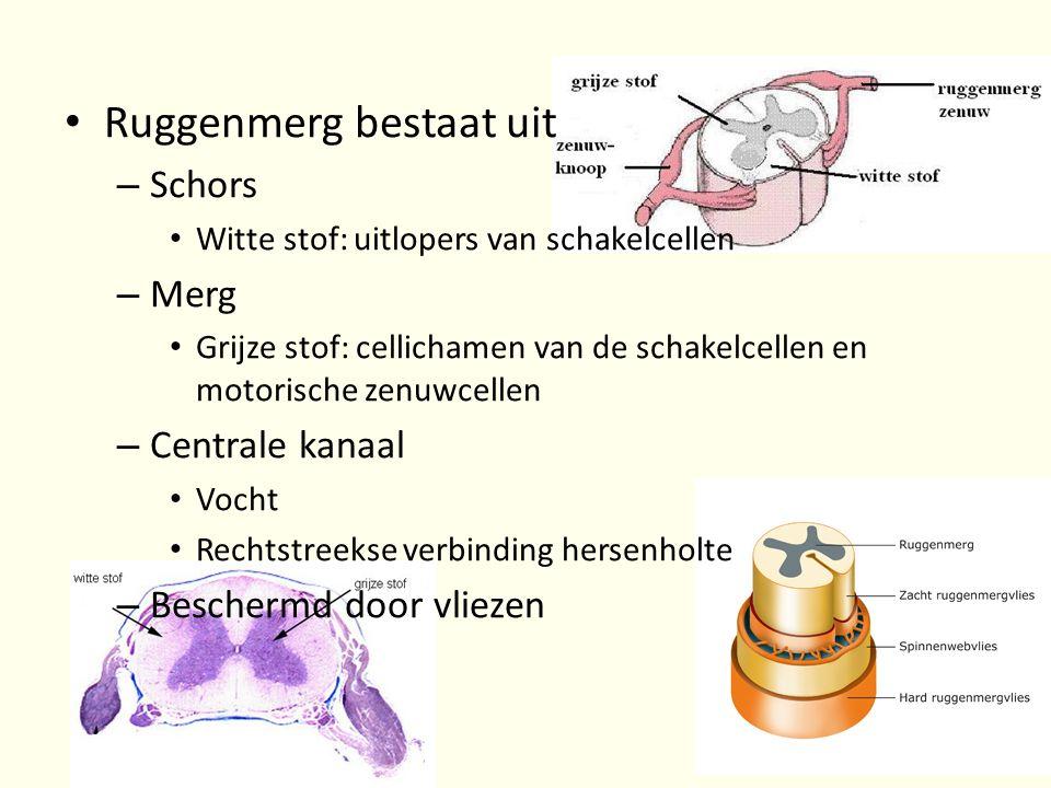 • Ruggenmerg bestaat uit – Schors • Witte stof: uitlopers van schakelcellen – Merg • Grijze stof: cellichamen van de schakelcellen en motorische zenuw