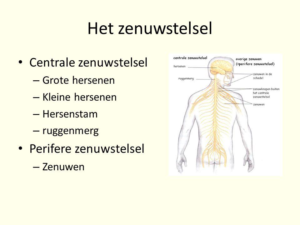 Het zenuwstelsel • Centrale zenuwstelsel – Grote hersenen – Kleine hersenen – Hersenstam – ruggenmerg • Perifere zenuwstelsel – Zenuwen