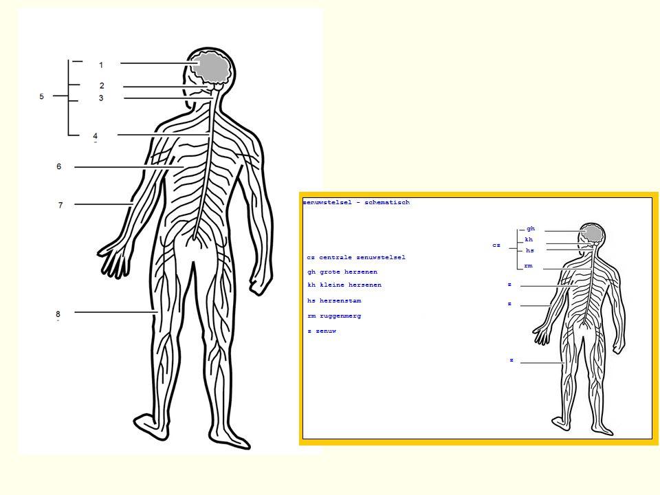 Twee helften (hemisferen) Door groef (fissura longitudinalis) Elk vier kwabben voorhoofdskwab: fijne motoriek, spraak, stemming, denkvermogen achterhoofdskwab: gezichtsvermogen, interpretatie beelden wandbeenkwab: lichamelijke gewaarwording slaapbeenkwab: onthouden en herkennen, herinnering