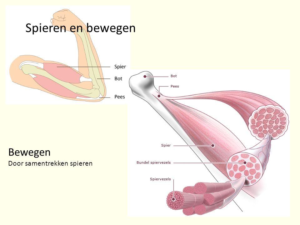 Spieren en bewegen Bewegen Door samentrekken spieren
