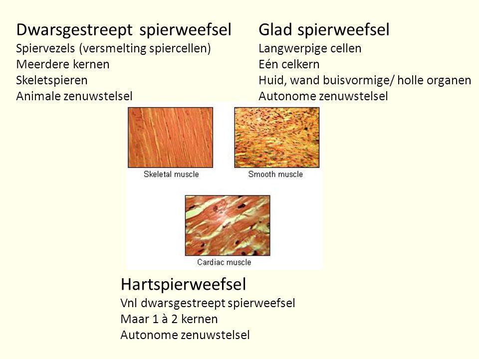 Glad spierweefsel Langwerpige cellen Eén celkern Huid, wand buisvormige/ holle organen Autonome zenuwstelsel Dwarsgestreept spierweefsel Spiervezels (