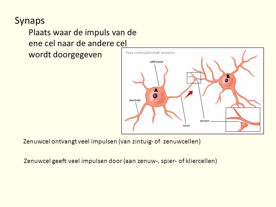 Synaps Plaats waar de impuls van de ene cel naar de andere cel wordt doorgegeven Zenuwcel ontvangt veel impulsen (van zintuig- of zenuwcellen) Zenuwce