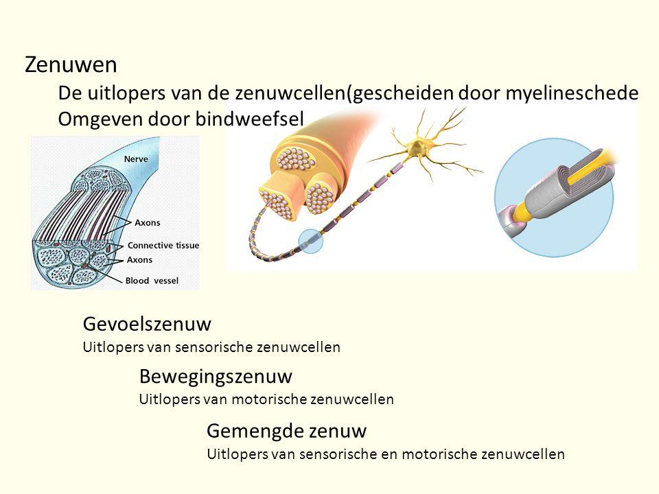 Zenuwen De uitlopers van de zenuwcellen(gescheiden door myelineschede Omgeven door bindweefsel Gevoelszenuw Uitlopers van sensorische zenuwcellen Bewe