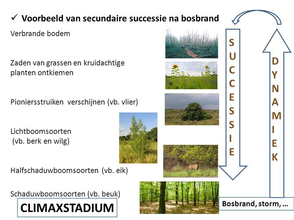  Voorbeeld van secundaire successie na bosbrand Verbrande bodem Zaden van grassen en kruidachtige planten ontkiemen Pioniersstruiken verschijnen (vb.