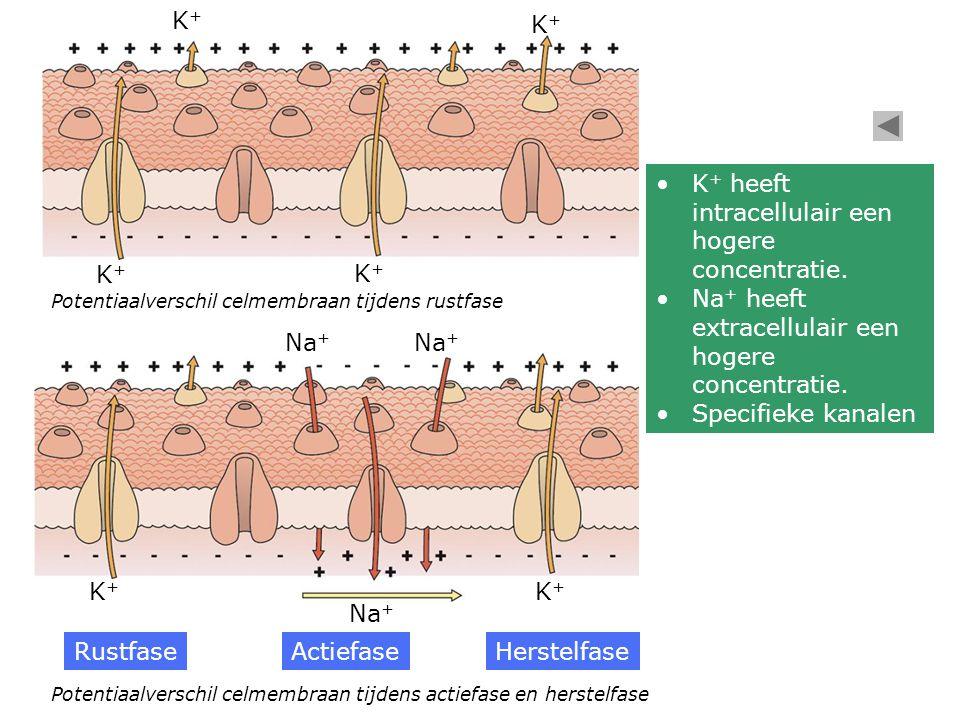 Potentiaalverschil celmembraan tijdens rustfase Potentiaalverschil celmembraan tijdens actiefase en herstelfase K+K+ K+K+ K+K+ K+K+ K+K+ K+K+ Na + Rus