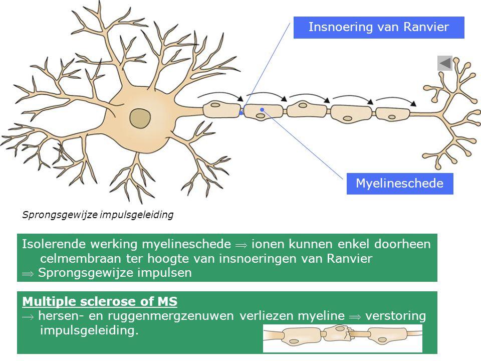 Sprongsgewijze impulsgeleiding Insnoering van Ranvier Myelineschede Isolerende werking myelineschede  ionen kunnen enkel doorheen celmembraan ter hoo