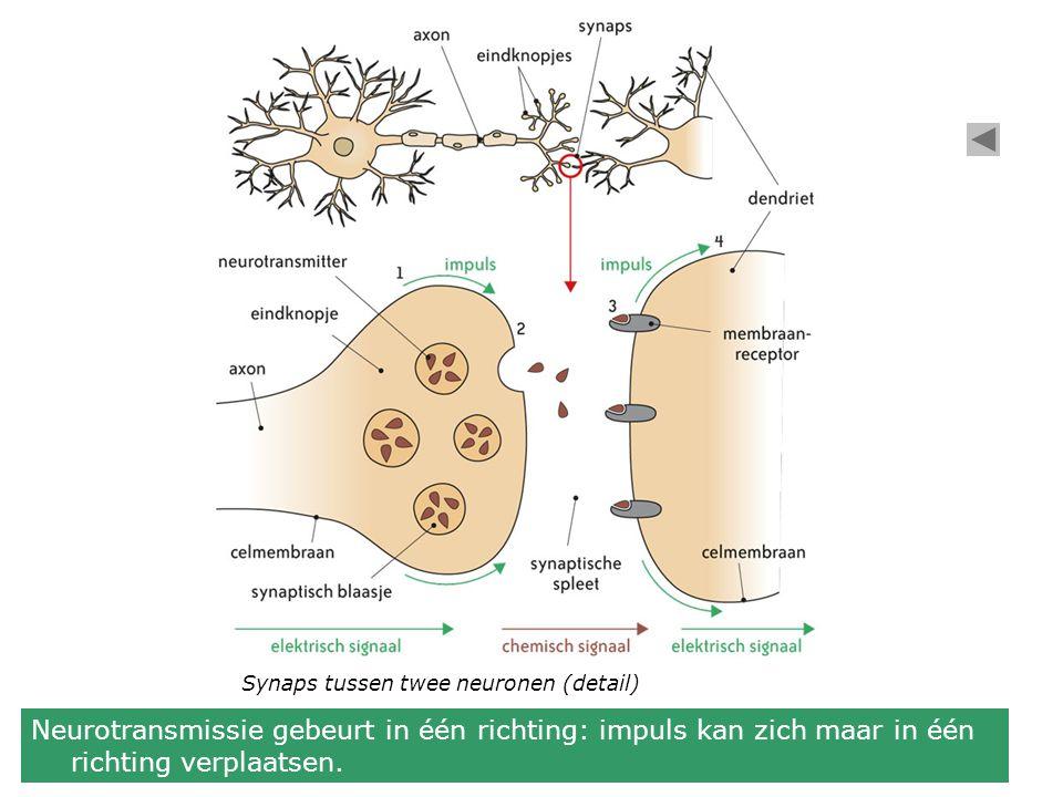 Synaps tussen twee neuronen (detail) Neurotransmissie gebeurt in één richting: impuls kan zich maar in één richting verplaatsen.