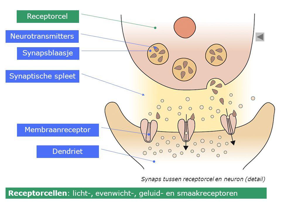 Membraanreceptor Synapsblaasje Neurotransmitters Synaptische spleet Dendriet Receptorcel Receptorcellen: licht-, evenwicht-, geluid- en smaakreceptore