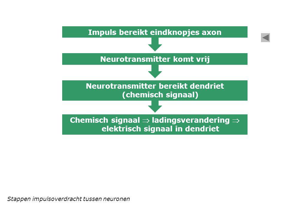 Stappen impulsoverdracht tussen neuronen Impuls bereikt eindknopjes axon Neurotransmitter komt vrij Neurotransmitter bereikt dendriet (chemisch signaa
