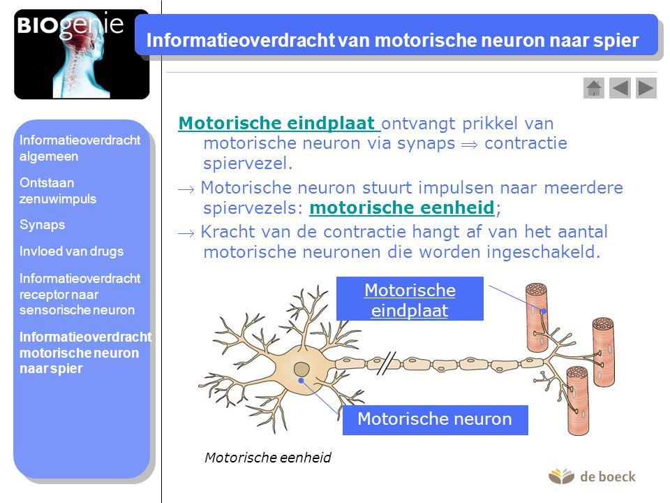 Informatieoverdracht van motorische neuron naar spier Motorische eindplaat Motorische eindplaat ontvangt prikkel van motorische neuron via synaps  co