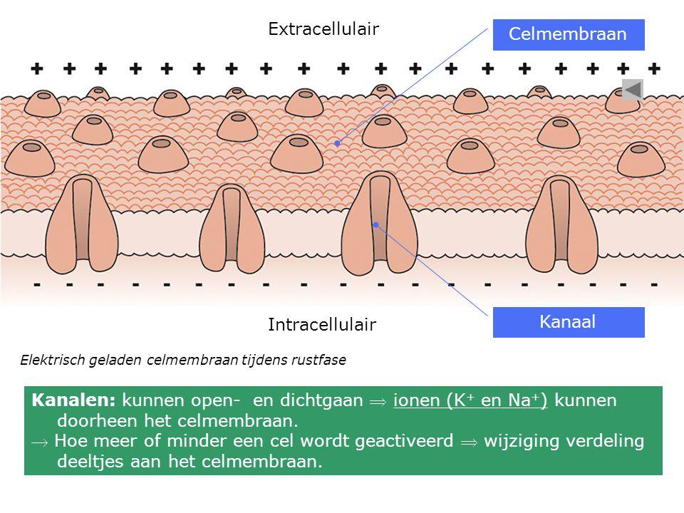 Elektrisch geladen celmembraan tijdens rustfase Extracellulair Intracellulair Celmembraan Kanaal Kanalen: kunnen open- en dichtgaan  ionen (K + en Na