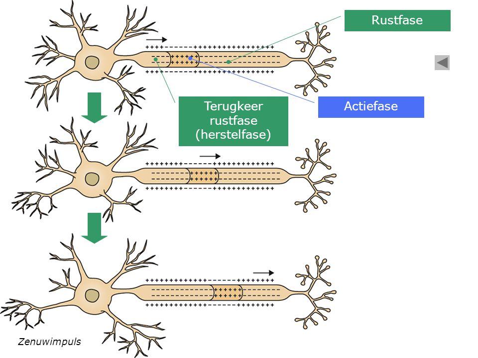Rustfase Actiefase Terugkeer rustfase (herstelfase) Zenuwimpuls