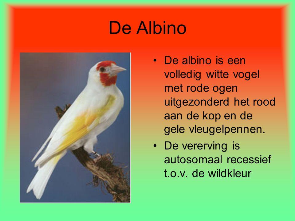 De Albino •De albino is een volledig witte vogel met rode ogen uitgezonderd het rood aan de kop en de gele vleugelpennen. •De vererving is autosomaal