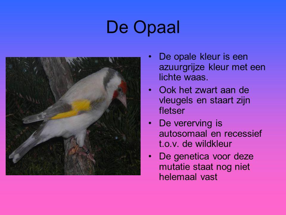 De Opaal •De opale kleur is een azuurgrijze kleur met een lichte waas. •Ook het zwart aan de vleugels en staart zijn fletser •De vererving is autosoma