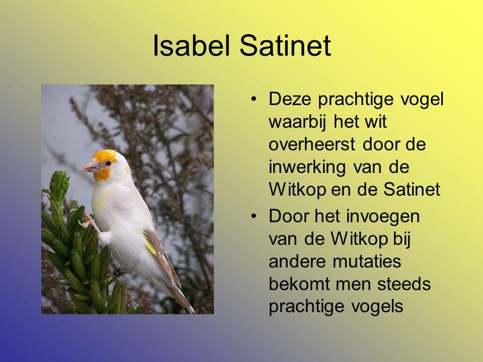 Isabel Satinet •Deze prachtige vogel waarbij het wit overheerst door de inwerking van de Witkop en de Satinet •Door het invoegen van de Witkop bij andere mutaties bekomt men steeds prachtige vogels