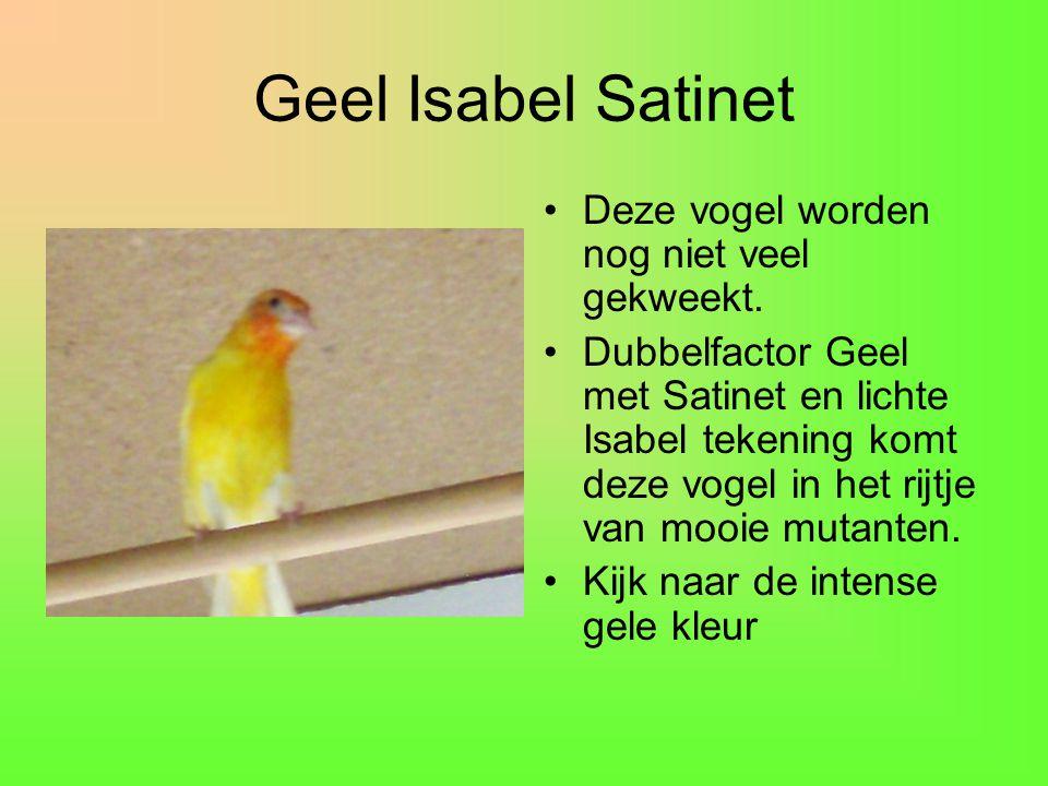 Geel Isabel Satinet •Deze vogel worden nog niet veel gekweekt. •Dubbelfactor Geel met Satinet en lichte Isabel tekening komt deze vogel in het rijtje