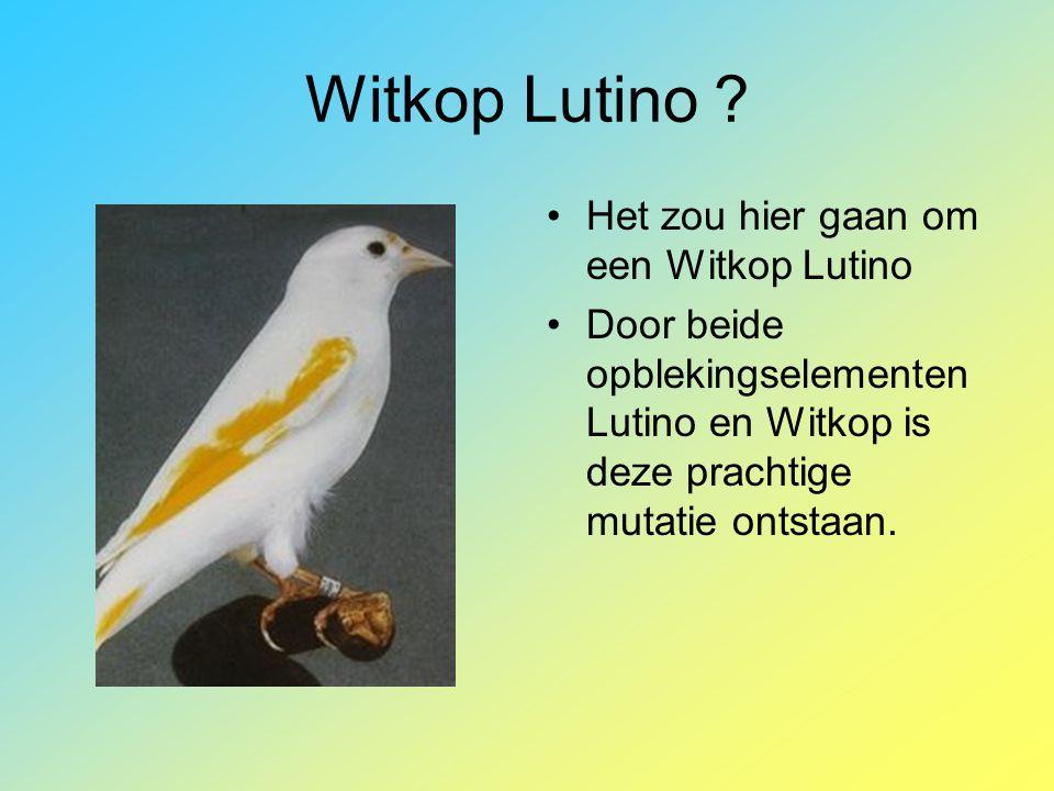 Witkop Lutino ? •Het zou hier gaan om een Witkop Lutino •Door beide opblekingselementen Lutino en Witkop is deze prachtige mutatie ontstaan.