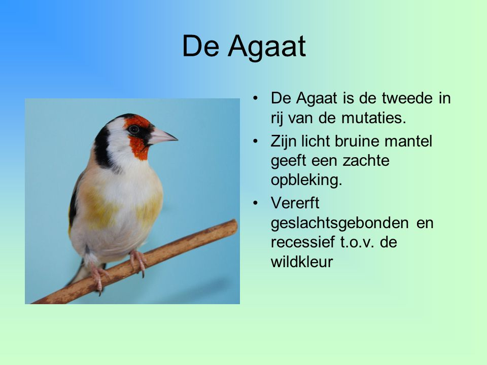 De Agaat •De Agaat is de tweede in rij van de mutaties. •Zijn licht bruine mantel geeft een zachte opbleking. •Vererft geslachtsgebonden en recessief