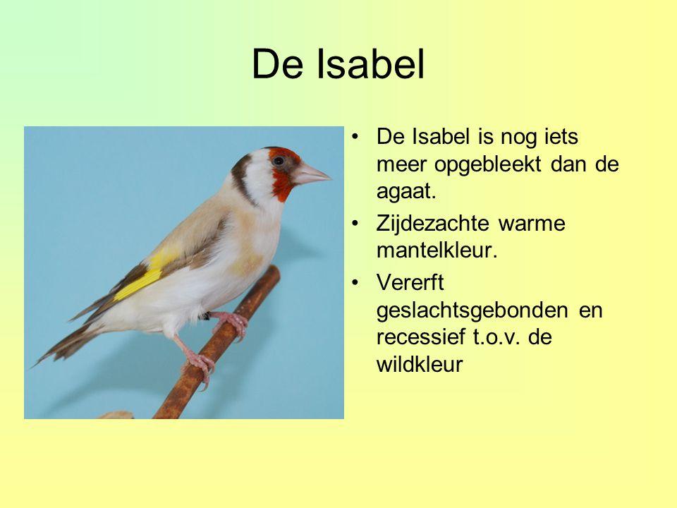 De Isabel •De Isabel is nog iets meer opgebleekt dan de agaat. •Zijdezachte warme mantelkleur. •Vererft geslachtsgebonden en recessief t.o.v. de wildk