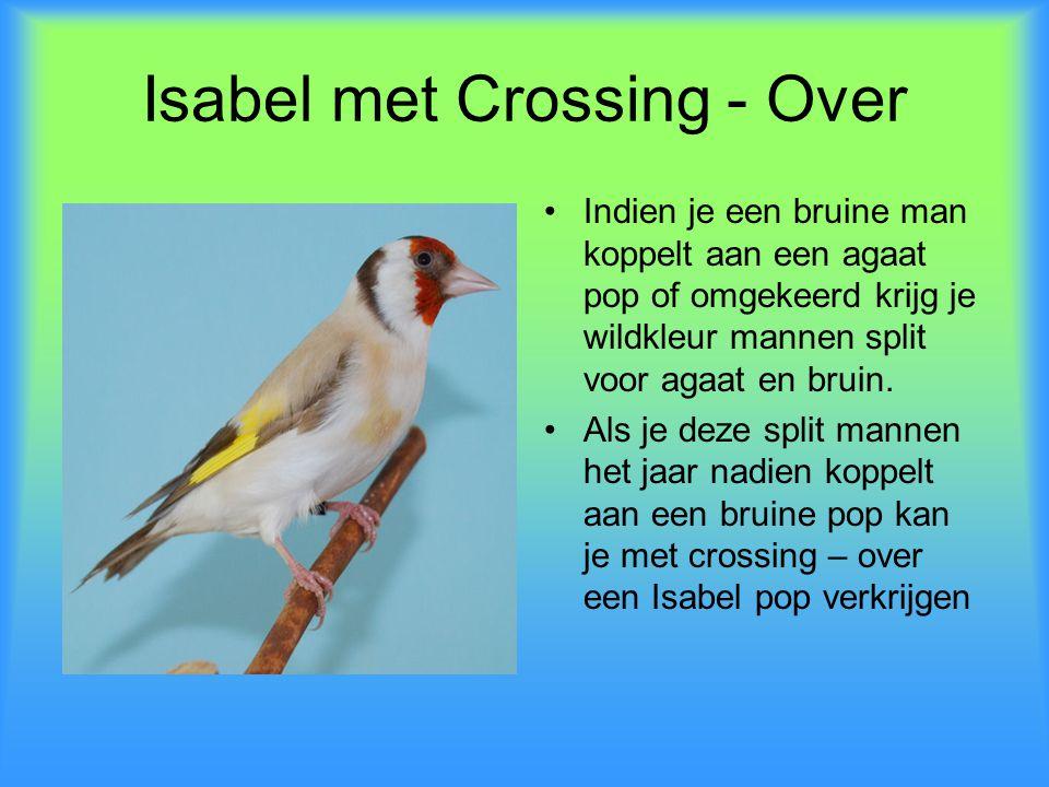Isabel met Crossing - Over •Indien je een bruine man koppelt aan een agaat pop of omgekeerd krijg je wildkleur mannen split voor agaat en bruin. •Als