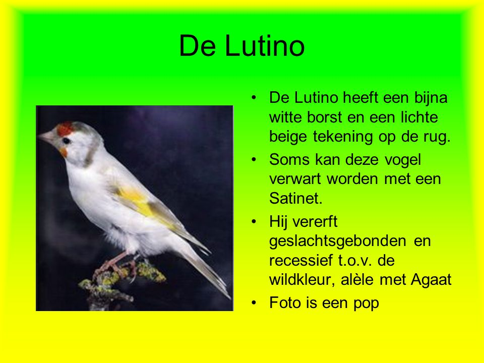De Lutino •De Lutino heeft een bijna witte borst en een lichte beige tekening op de rug. •Soms kan deze vogel verwart worden met een Satinet. •Hij ver