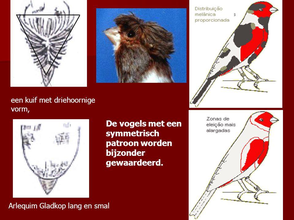Arlequim Gladkop lang en smal een kuif met driehoornige vorm, De vogels met een symmetrisch patroon worden bijzonder gewaardeerd.