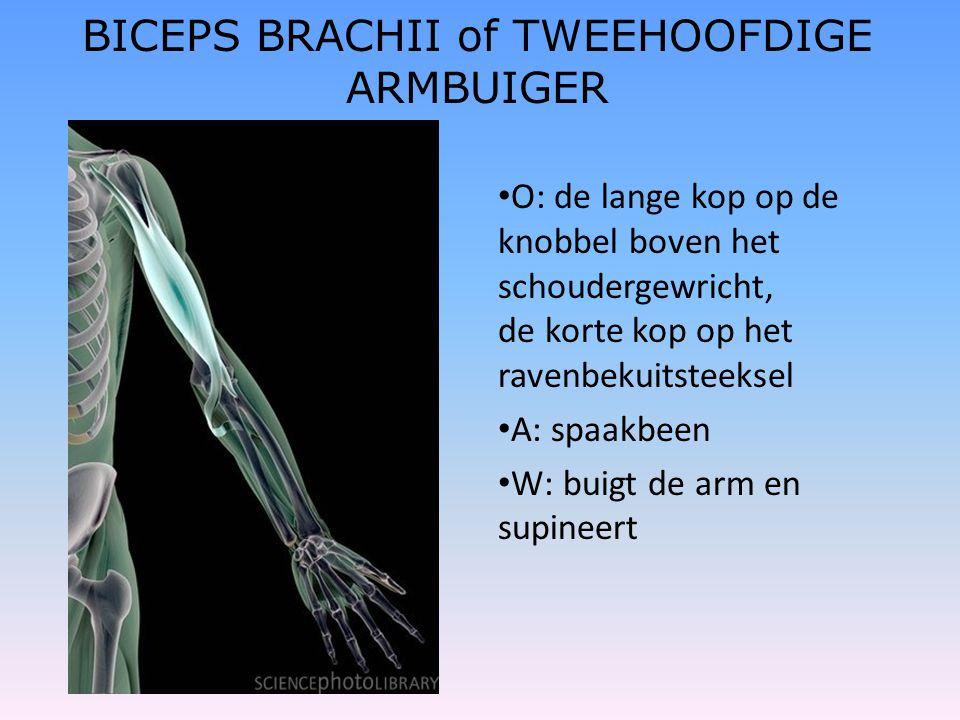 BICEPS BRACHII of TWEEHOOFDIGE ARMBUIGER • O: de lange kop op de knobbel boven het schoudergewricht, de korte kop op het ravenbekuitsteeksel • A: spaa