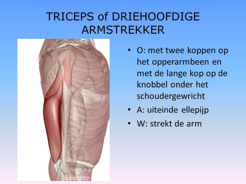 TRICEPS of DRIEHOOFDIGE ARMSTREKKER • O: met twee koppen op het opperarmbeen en met de lange kop op de knobbel onder het schoudergewricht • A: uiteind