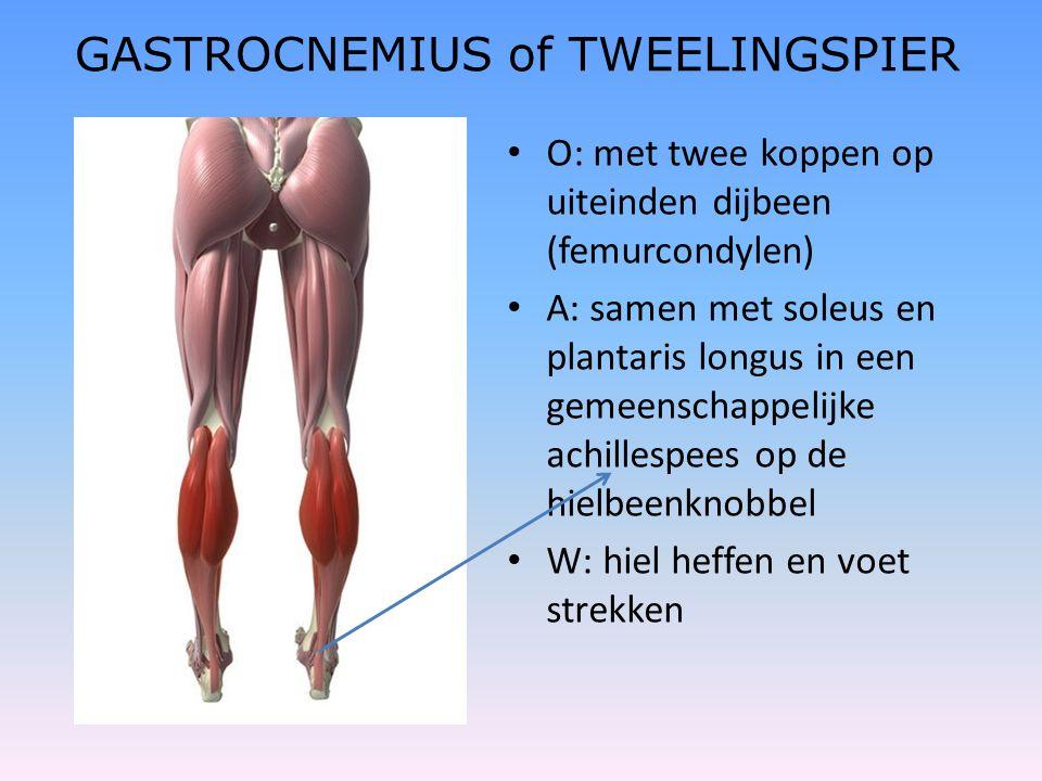 GASTROCNEMIUS of TWEELINGSPIER • O: met twee koppen op uiteinden dijbeen (femurcondylen) • A: samen met soleus en plantaris longus in een gemeenschapp