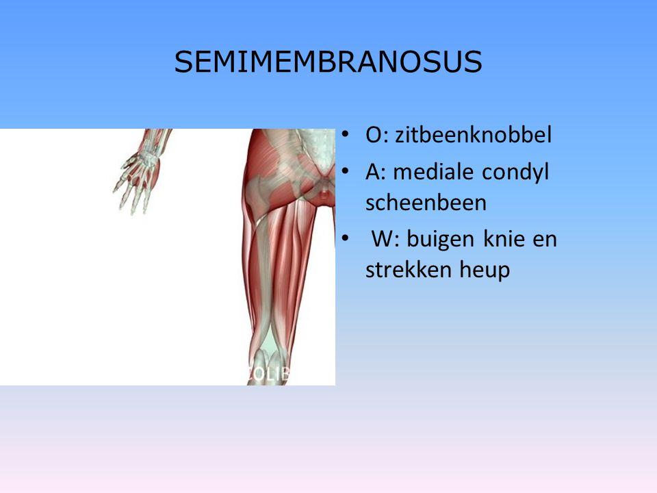SEMIMEMBRANOSUS • O: zitbeenknobbel • A: mediale condyl scheenbeen • W: buigen knie en strekken heup