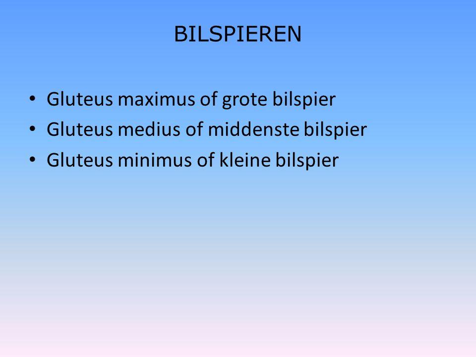 BILSPIEREN • Gluteus maximus of grote bilspier • Gluteus medius of middenste bilspier • Gluteus minimus of kleine bilspier