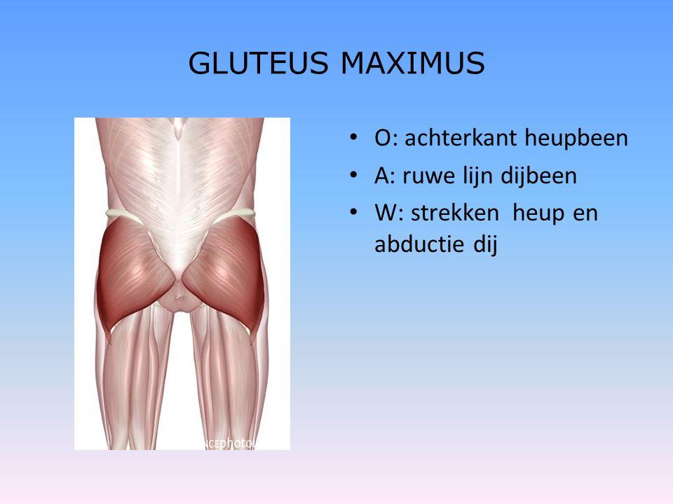 GLUTEUS MAXIMUS • O: achterkant heupbeen • A: ruwe lijn dijbeen • W: strekken heup en abductie dij