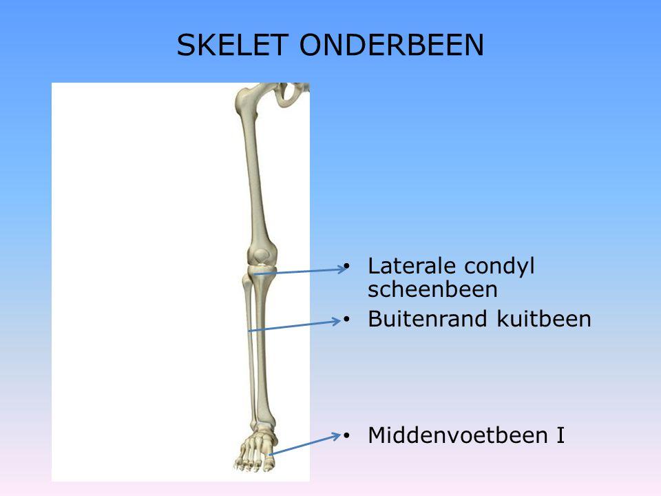 SKELET ONDERBEEN • Laterale condyl scheenbeen • Buitenrand kuitbeen • Middenvoetbeen I