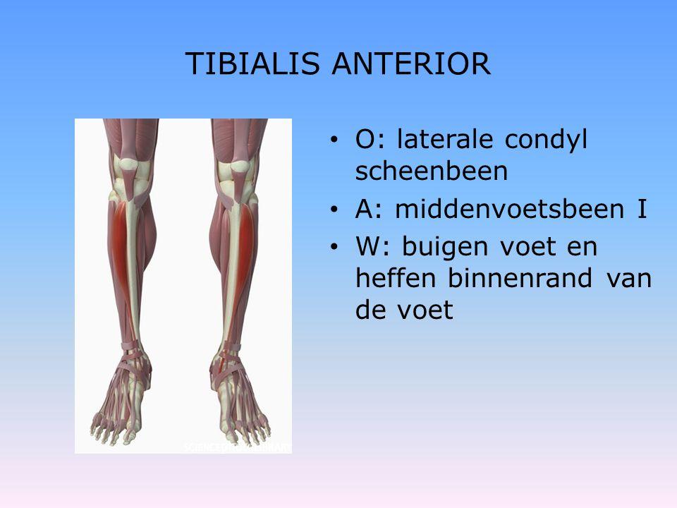 TIBIALIS ANTERIOR • O: laterale condyl scheenbeen • A: middenvoetsbeen I • W: buigen voet en heffen binnenrand van de voet