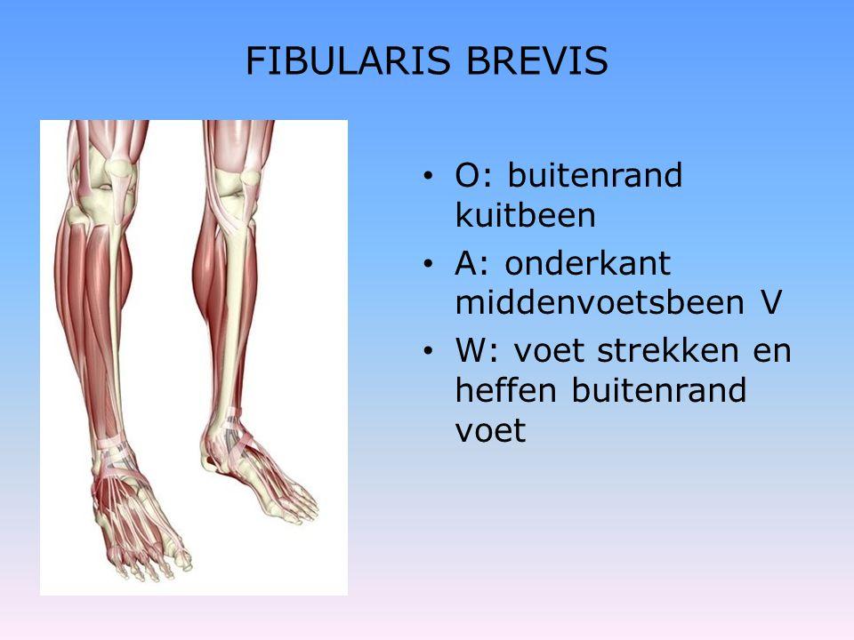 FIBULARIS BREVIS • O: buitenrand kuitbeen • A: onderkant middenvoetsbeen V • W: voet strekken en heffen buitenrand voet