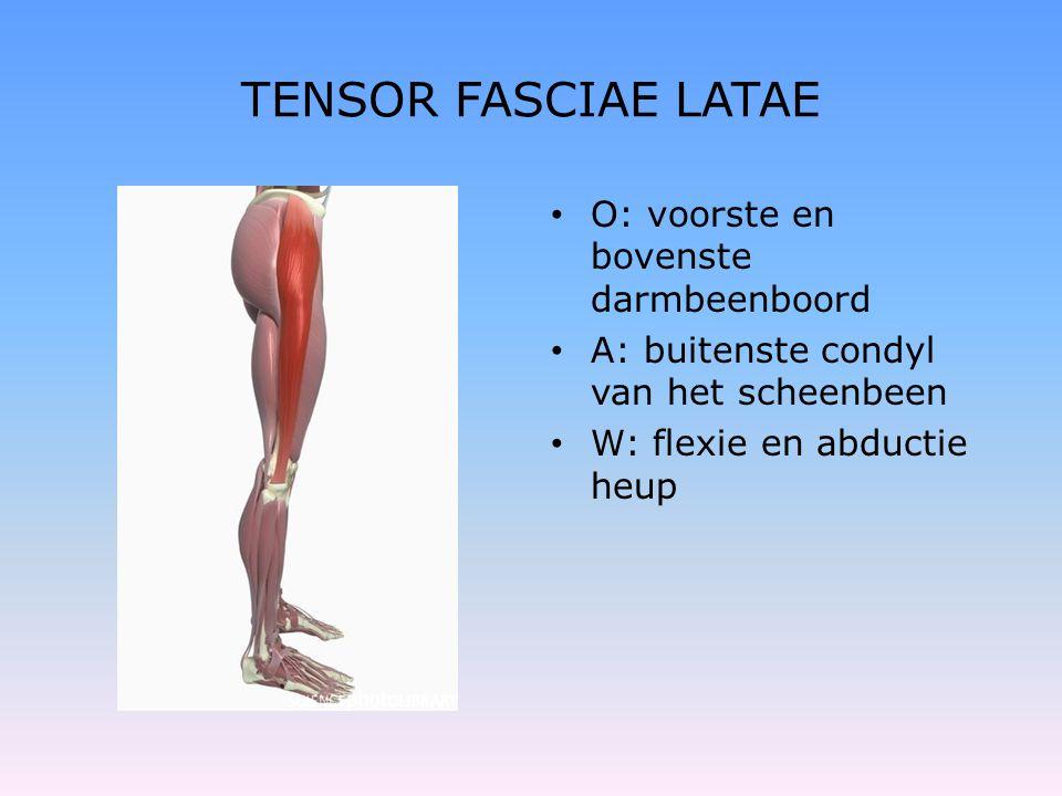 TENSOR FASCIAE LATAE • O: voorste en bovenste darmbeenboord • A: buitenste condyl van het scheenbeen • W: flexie en abductie heup