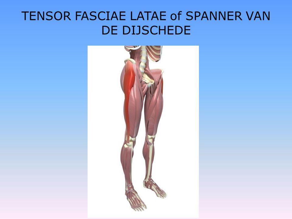 TENSOR FASCIAE LATAE of SPANNER VAN DE DIJSCHEDE